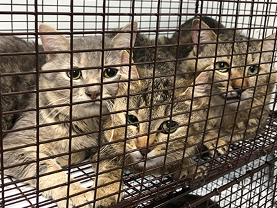 ARL Rescue Alert: 74 cats rescued from basement