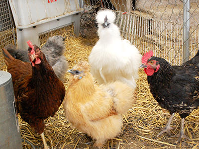 Proposed Change for Des Moines Chicken Ordinance