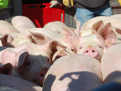 ARL Assists with Overturned Trailer Carrying 140 Pigs