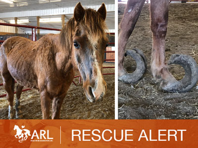 ARL Assists with Animal Neglect Case of Nearly 60 Ponies
